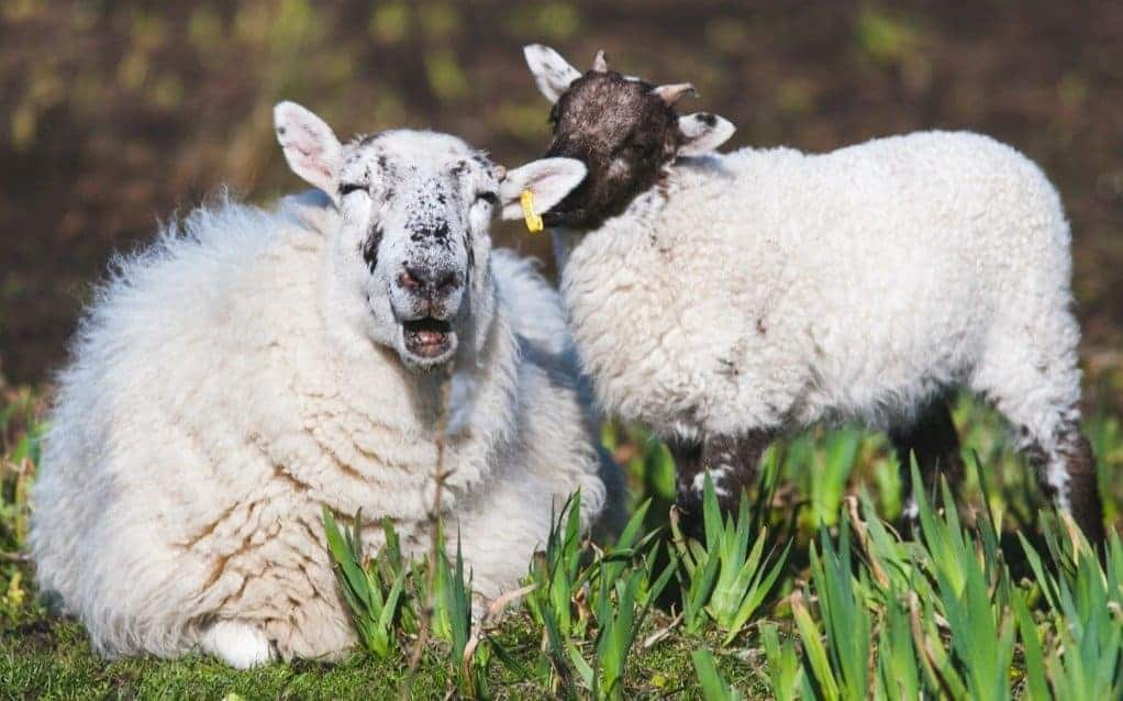 The Ewe Story - Occasionally, a sheepherder has an orphaned lamb that needs to be adopted by one of his ewes.